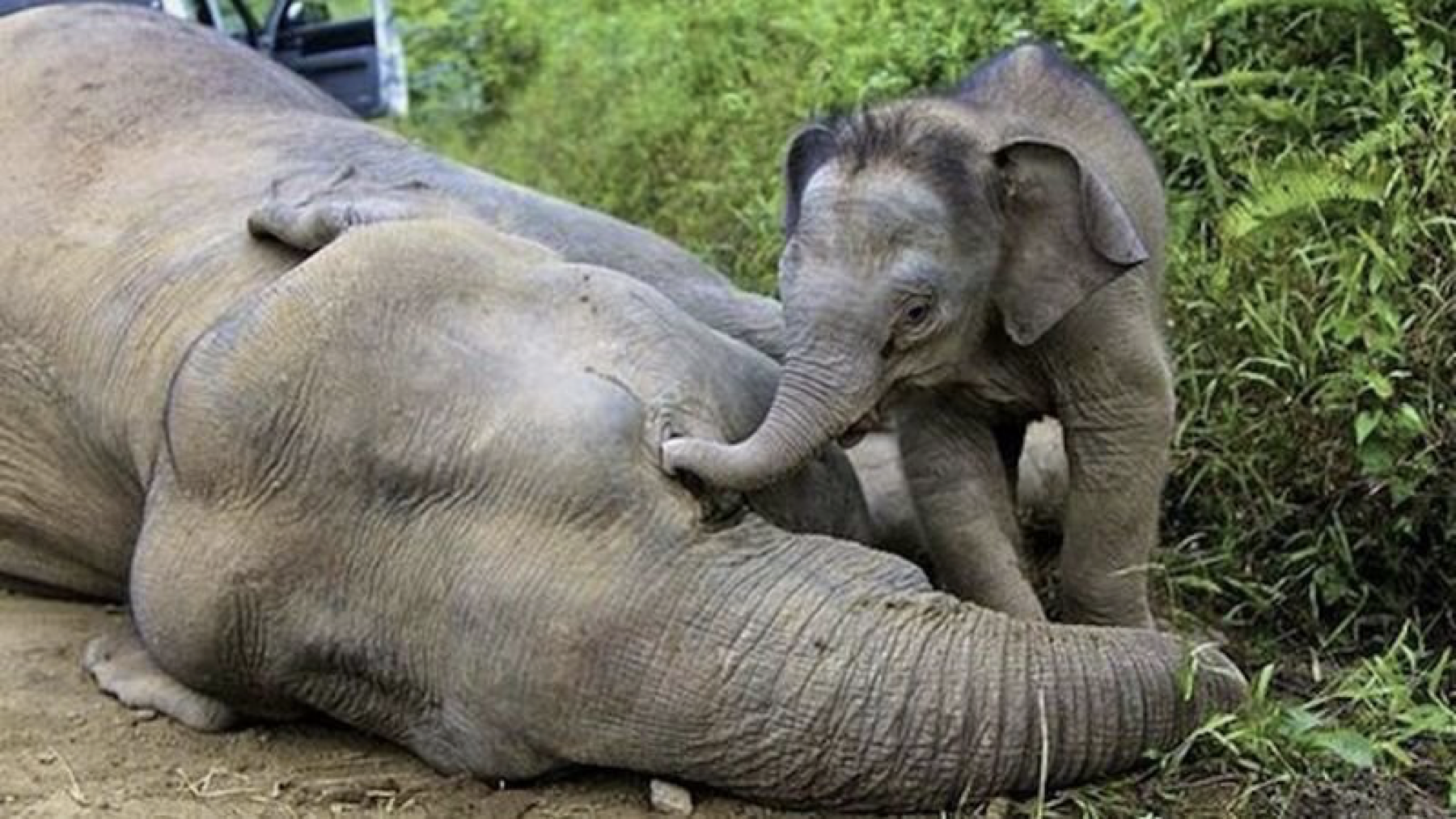 Baby elephant with dead mother elephant